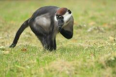 抓住衣领口的白眉猴 免版税库存照片