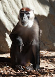 抓住衣领口的白眉猴 库存图片