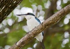 抓住衣领口的翠鸟(Todiramphus虎尾草属) 免版税库存图片