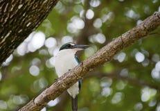 抓住衣领口的翠鸟(Todiramphus虎尾草属) 库存图片