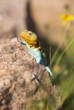 抓住衣领口的蜥蜴的美好的着色 免版税图库摄影