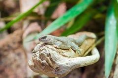 抓住衣领口的蜥蜴 库存图片