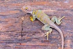抓住衣领口的蜥蜴 免版税库存照片