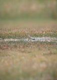 抓住衣领口的蜥蜴- Crotaphytus collaris 免版税库存图片