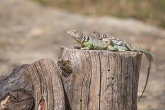 抓住衣领口的蜥蜴& x28; Crotaphytus collaris& x29; 库存照片