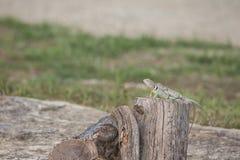 抓住衣领口的蜥蜴& x28; Crotaphytus collaris& x29; 免版税库存图片
