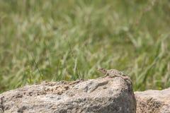 抓住衣领口的蜥蜴& x28; Crotaphytus collaris& x29; 库存图片