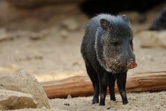 抓住衣领口的野猪 免版税库存照片