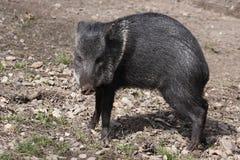 抓住衣领口的野猪 免版税库存图片