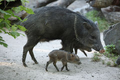 抓住衣领口的野猪(Pecari tajacu) 免版税库存照片