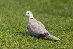 抓住衣领口的鸠-斑鸠decaocto在英国庭院里 免版税库存照片