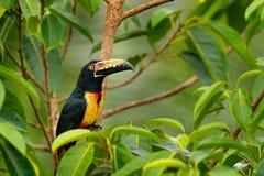 抓住衣领口的Aracari, Pteroglossus torquatus,与大票据的鸟 Toucan坐分支在森林里, Boca Tapada,拉古纳de L 图库摄影