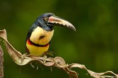抓住衣领口的Aracari 免版税图库摄影