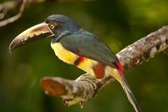抓住衣领口的Aracari 图库摄影