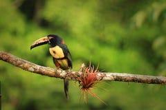 抓住衣领口的Aracari (Pteroglossus torquatus) 免版税库存照片