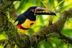 抓住衣领口的Aracari - Pteroglossus torquatus toucan,近雀形目鸟鸟 它从墨西哥南部养殖到巴拿马,厄瓜多尔, 库存图片