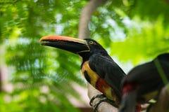 抓住衣领口的aracari torquatustoucan的Pteroglossus 图库摄影