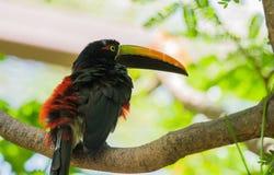 抓住衣领口的aracari torquatustoucan的Pteroglossus 免版税图库摄影