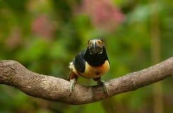 抓住衣领口的aracari toucan 2 库存图片