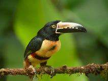 抓住衣领口的aracari toucan 3 库存图片