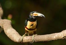 抓住衣领口的aracari toucan 4 库存图片