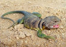 抓住衣领口的collaris crotaphytus东部蜥蜴男 免版税图库摄影