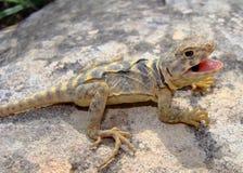抓住衣领口的collaris crotaphytus东部蜥蜴 免版税库存照片