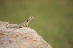 抓住衣领口的collaris crotaphytus蜥蜴 免版税库存图片