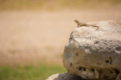 抓住衣领口的collaris crotaphytus蜥蜴 库存图片
