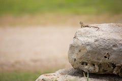 抓住衣领口的collaris crotaphytus蜥蜴 免版税库存照片