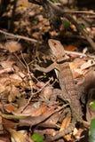 抓住衣领口的iguanid蜥蜴,马达加斯加 免版税库存照片