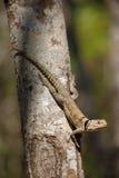 抓住衣领口的iguanid蜥蜴,马达加斯加 免版税图库摄影