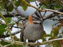 抓住衣领口的machu秘鲁picchu红褐色麻雀 库存照片