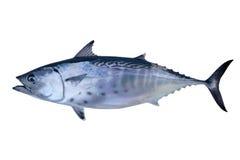 抓住鱼少许海鲜金枪鱼鲔鱼 库存照片