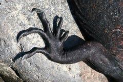 抓加拉帕戈斯鬣鳞蜥海军陆战队员 免版税库存照片