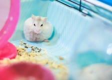 抓和修饰它的毛皮的逗人喜爱的白色异乎寻常的母冬天白矮星仓鼠在房子角落 冬天白色仓鼠是 库存图片