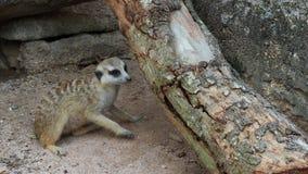 抓和啃在日志木头的Meerkat 影视素材