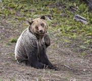 抓在供以座位的位置的年轻北美灰熊 库存图片