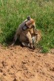 抓在沙子的鬣狗头 免版税库存照片