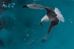 抓在浮冰块的三趾鸥一条鱼,在卑尔根群岛北部 免版税库存照片
