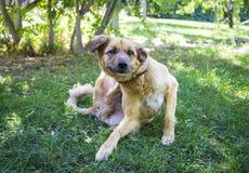 抓在草的狗 免版税库存图片