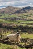 抓在高峰区的绵羊 图库摄影
