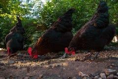 抓在仓库广场的三只母鸡 免版税库存照片