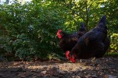抓在仓库广场的两只母鸡 免版税图库摄影