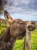 抓头的驴在画象取向的木岗位 免版税库存照片