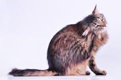 抓她的耳朵的美丽的灰色怀孕的猫 库存照片