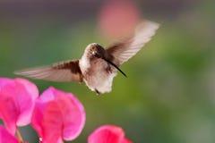 抓她的额嘴的蜂鸟 图库摄影