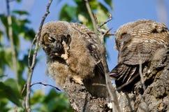 抓它的与它锋利的爪的幼小猫头鹰之子眼睛 免版税库存图片