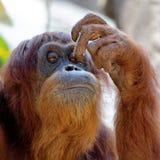 抓它的面孔的猩猩 免版税库存照片
