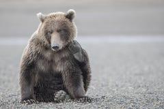 抓它的面颊的北美灰熊 库存照片